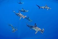 schooling female scalloped hammerhead sharks, Sphyrna lewini, Kona Coast, Hawaii Island ( the Big Island ), Hawaiian Islands, Indonesia,