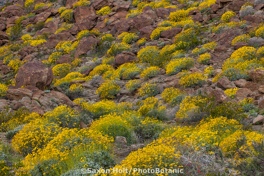 Encelia farinosa, Brittlebush flowering shrub in Sonoran Desert at Anza Borrego California State Park