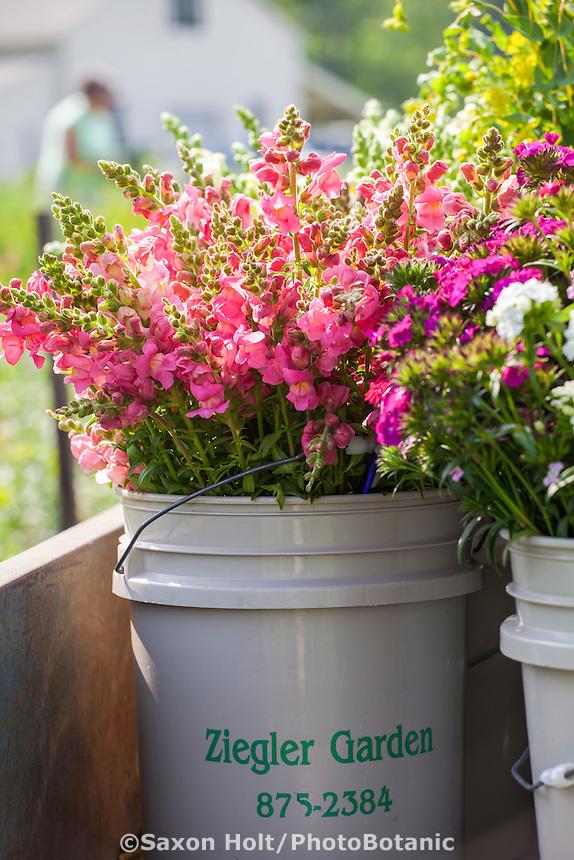 Snapdragons, cool season heirloom annual flower harvested at flower farmer Lisa Ziegler Gardeners Workshop