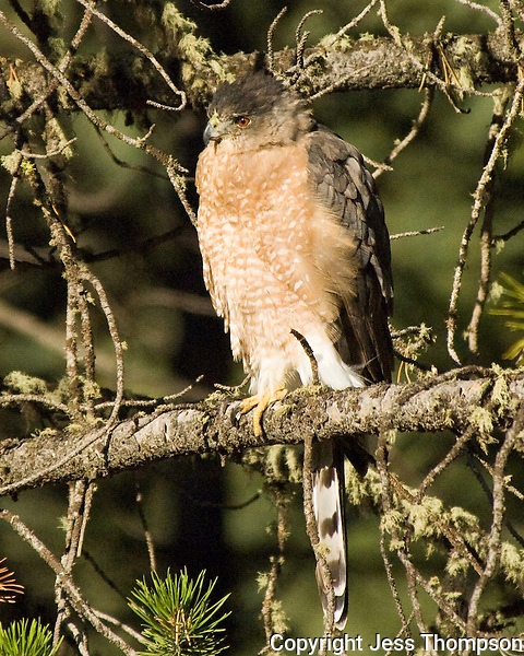 Cooper's Hawk, roadise in Montana