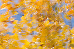 Aspens in fall, Washington