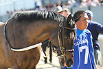 HOT SPRINGS, AR - March 18: Streamline #7 is walked to the paddock before the Azeri Stakes at Oaklawn Park on March 18, 2017 in Hot Springs, AR. (Photo by Ciara Bowen/Eclipse Sportswire/Getty Images)