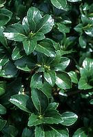 Pachysandra terminalis 'Green Sheen'