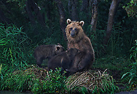 Kurilskoe Lake Preserve is a world heritage site. A mother brown bears feeds her hungry cubs.