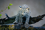 Pictured:  Sequence 1 of 8:  The cub in the rain<br /> <br /> A leopard cub shakes the rain off its fur before cuddling up to its mother.  The newborn sent raindrops flying as it shook its head from side to side on a tree branch.<br /> <br /> The cub appeared energised by the rain and encouraged his reluctant mother to play.  These photographs were taken at the Masai Mara National Reserve in Kenya by wildlife photographer Leighton Lum.  SEE OUR COPY FOR DETAILS.<br /> <br /> Please byline: Leighton Lum/Solent News<br /> <br /> © Leighton Lum/Solent News & Photo Agency<br /> UK +44 (0) 2380 458800