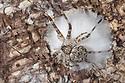 Long-spinnered Bark Spider {Hersiliidae sp} protecting egg sac on tree bark. Tropical rainforest, Masoala Peninsula National Park, north east Madagascar.