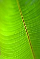 Macro close-up of banana leaf, Cerro Punta, Panama