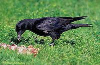 BL04-009z  Crow - Corvus brachyrhynchos