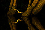 Oriental Darter<br /> (Anhinga melanogaster) female, Kinabatangan River, Sabah, Borneo, Malaysia