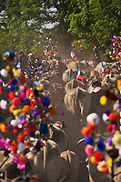 Europe/France/Midi-Pyrénées/12/Aveyron/Aubrac/ Env de Laguiole: Le dernier week end de mai, les troupeaux remontent paître pour l'été dans les montagnes de l'Aubrac. C'est la Fête de la transhumance en Aubrac, les bêtes de race Aubrac,  sont décorées de fleurs, drapeaux...