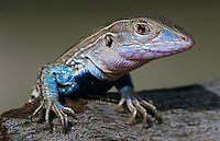 Texas Spotted Whiptail, Cnemidophorus gularis, male on log, Starr County, Rio Grande Valley, Texas, USA