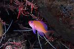 Cleaning Station,Princess Anthias , Pseudanthias smithvanizi, Underwater macro marine life images;  Photographed in Tulamben; Liberty Resort; Indonesia.Underwater Macro Photographer on FB 2nd Annual event