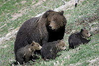 Grizzly Bear Mom with three cubs, Yellowstone