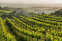 Italy. Hazy morning light illuminates the grapevines in the San Gimignano area.