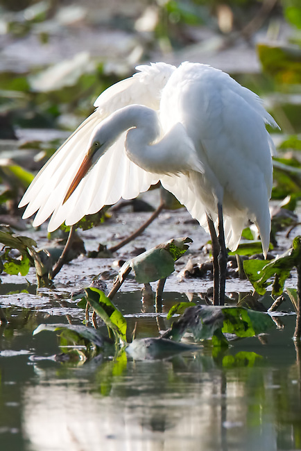 An egret beautifully lit behind his own wing in the mid-morning light