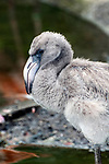 caribbean flamingo juvenile