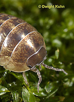 1Y33-635z  Pillbug or Roly Poly close-up of face, eyes and antennae, Armadillidum vulgare