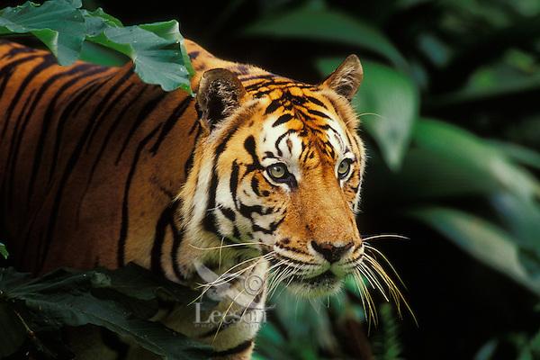 Sumatran tiger (Panthera tigris sumatrae) in tropical rainforest.  Endangered Species.