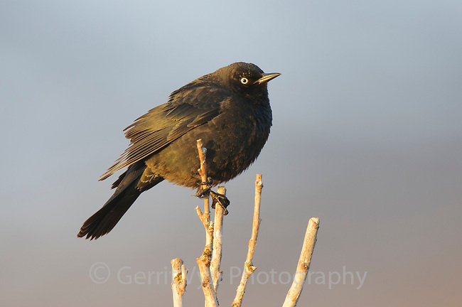 Adult male Rusty Blackbird (Euphagus carolinus) in breeding plumage. Seward Peninsula, Alaska. May.