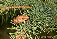 0302-0918  Spring Peeper Frog Climbing Pine Tree Branch, Pseudacris crucifer (formerly: Hyla crucifer)  © David Kuhn/Dwight Kuhn Photography