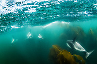 Peale's dolphins, Lagenorhynchus australis, adult, in kelp forest, Gypsey Cove, East Island, Falkland Islands, South Atlantic Ocean