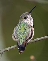 Adult female caliope hummingbird