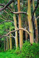 Rainbow Eucalyptus (Eucalyptus deglupta). Maui, Hawaii