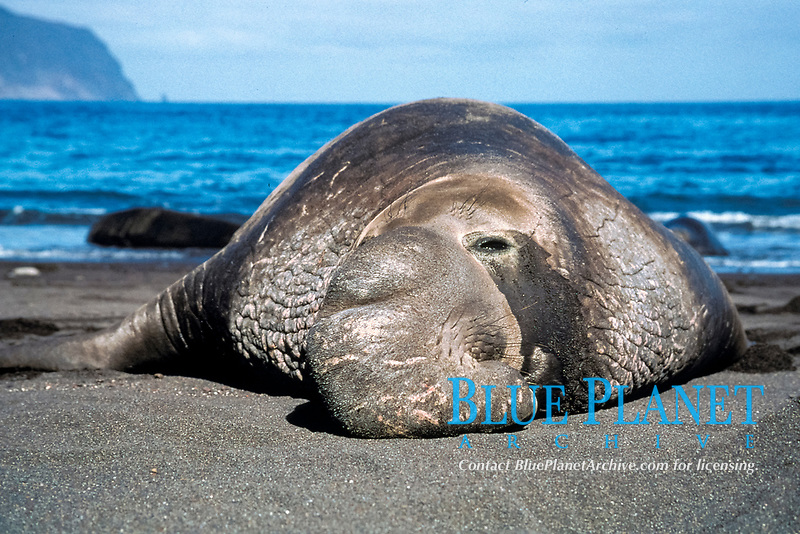 adult male northern elephant seal, bull, Mirounga angustirostris, note distinctive large nose, Guadalupe Island, Mexico, Pacific Ocean