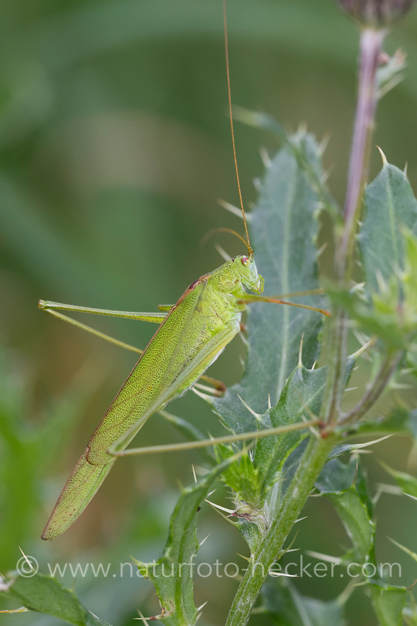 Sichelschrecke, Gemeine Sichelschrecke, Phaneroptera falcata, Sickle-bearing Bush-cricket, Sickle-bearing Bush cricket, Phanéroptère commun, Sichelschrecken, Phaneropteridae