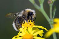 Helle Erdhummel, Hellgelbe Erdhummel, Erdhummel, Erd-Hummel, Männchen, Drohn, Drohne, Blütenbesuch an Jakobs-Greiskraut, Senecio jacobaea, Bombus lucorum, bumble bee, Bombus lucorum, white-tailed bumblebee, Bourdon des saussaies, Petit bourdon terrestre
