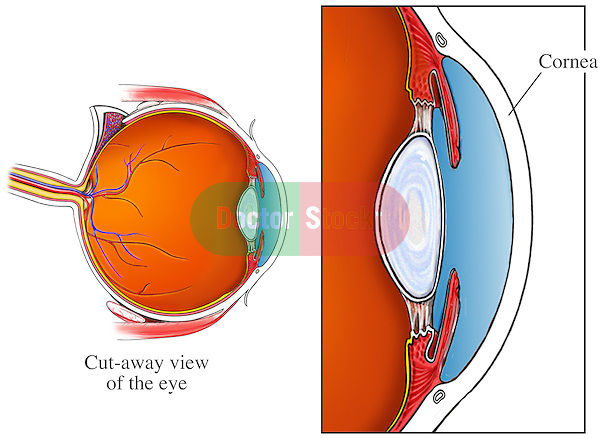 Cornea of the Eye
