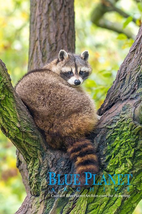 Raccoon (Procyon lotor) sitting in a tree, captive, Saarland, Germany, Europe