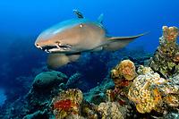 nurse shark, Ginglymostoma cirratum, Little Bahama Bank, Bahamas, Caribbean, Atlantic