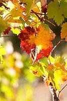 autumn colours vineyard quinta do infantado douro portugal