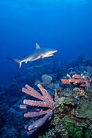 Caribbean reef sharks, Carcharhinus perezii, Nassau, Bahamas, Caribbean ( W. Atlantic )
