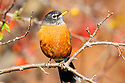00980-021.16 American Robin is perched in tree among fall color.  Backyard, landscape, fruit, food, manage.
