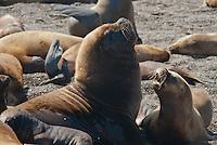 Zuidamerikaanse zeeleeuw  (Otaria flavescens) kolonie op Valdes, ArgentiniâEUR~