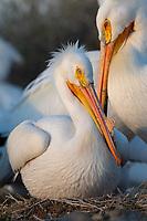 American White Pelican (Pelecanus erythrorhynchos) incubating nest. Lake County, Oregon. April.