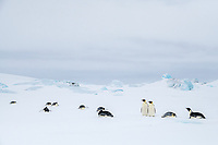 Snow Hill Island, Antarctica. Adult Emperor penguins toboggan to save energy while traversing the ice.