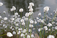Scheiden-Wollgras, Scheidenwollgras, Moor-Wollgras, Scheidiges Wollgras, Schneiden-Wollgras, Eriophorum vaginatum, hare's-tail cottongrass, tussock cottongrass, sheathed cottonsedge, cotton-grass, cotton-sedge