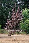 12763-CC Canadian Red Chokecherry Tree, Prunus virginiana, in October, at Mourning Cloak Ranch & Botanical Garden, Tehachapi, CA USA