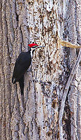 Our largest local woodpecker species is one handsome bird.
