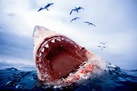 great white shark, Carcharodon carcharias, lunging at bait fish with jaws open, South Africa