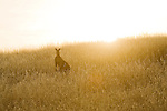Eastern Grey Kangaroo (Macropus giganteus) male in grassland at sunset, Mount Taylor Nature Reserve, Canberra, Australian Capital Territory, Australia