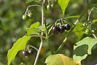 Schwarzer Nachtschatten, Früchte, Solanum nigrum, Black Nightshade