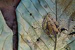 Tree frog, Tambopata River region, Peru