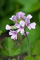 Pelargonium 'Attar of Roses' (syn. Pelargonium capitatum 'Attar of Roses'), mid June.