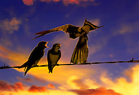 Barnswallow mother feeds two babies on wire at sunset