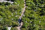 Researcher walking towards to platform to set-up blind for observing bird behaviors., Bird Island Light, Bird Island, Marion, Massachusetts, Buzzards Bay, Cape Cod.