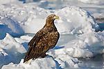 Shiretoko Peninsula, Hokkaido, Japan<br /> Steller's sea eagle immature (Haliaeetus pelagicus) on pack ice, near Rausu fishing village